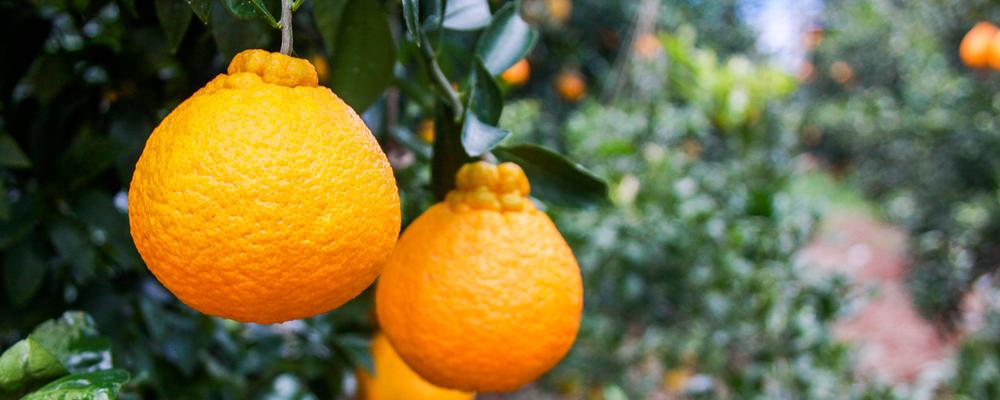 津奈木の果物
